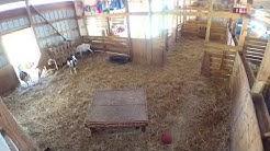 SSF Live Goat Stream
