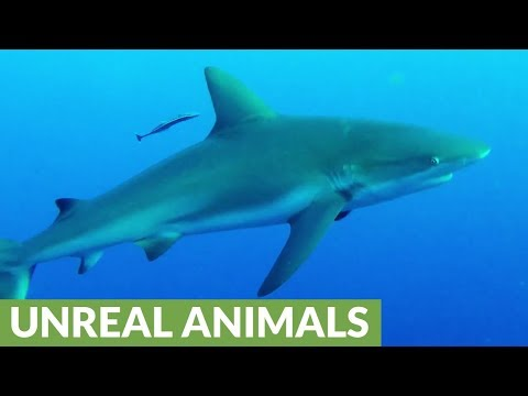 Aggressive sharks bump and circle divers on their way to the surface