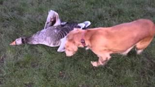 Cocker Spaniel Demonstrates How To Retrieve On Land A Grey Goose. Gun Dog Training.
