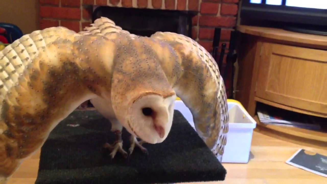 Owl Vs Cat Barn Owl Displaying To The Cat Whos Youtube