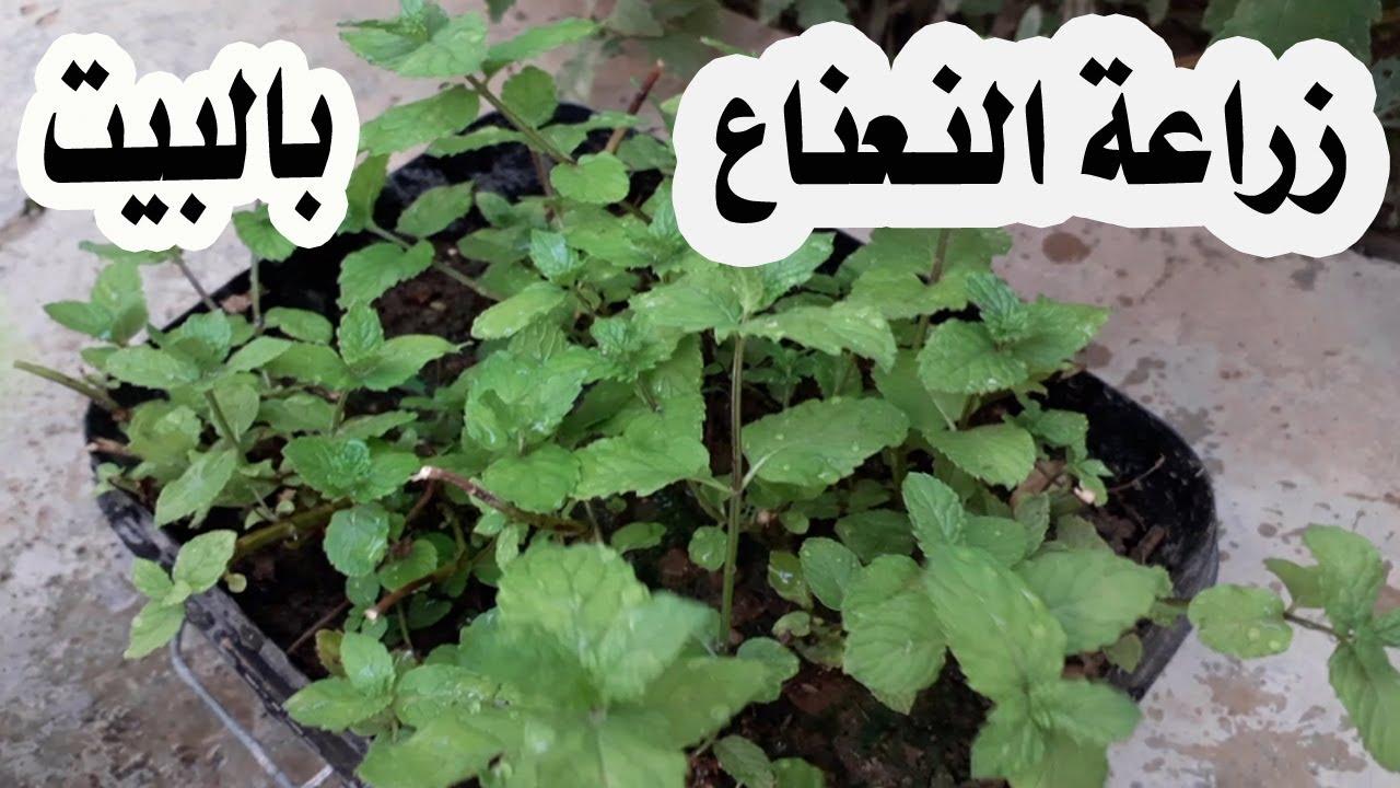 سرنجاح زراعة النعناع في البيت مع الطريقة الصحيحة و المضمونة لنجاحه