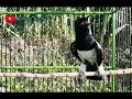 Awasss Kacer Anda Jadi Ngamuk Nembak Nembak Dengan Kicau Kacer Ini Nyecret(.mp3 .mp4) Mp3 - Mp4 Download