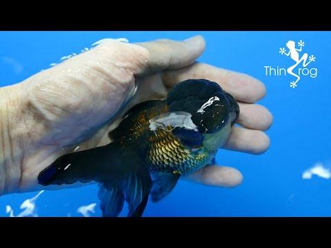 Goldfish Swim Bladder Disease