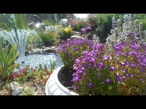 Лобелия -  выращивание и уход