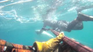 Freediving Santa Barbara White Seabass
