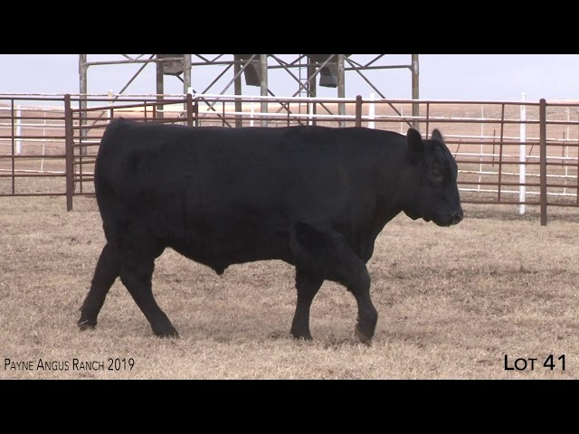 Payne Angus Ranch Lot 41