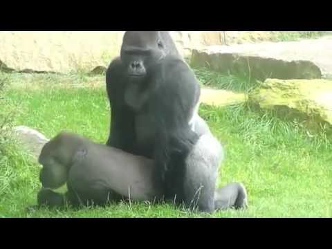 Gorillas GIAO PHỐI TRONG TỰ NHIÊN 2