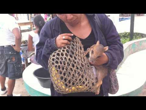 Wild Peccary / Pecari tajacu baby (2 months old) on Napo River / Mazan Village during Paucarina Tour