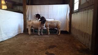 Dorper Ram Lambs (brothers)