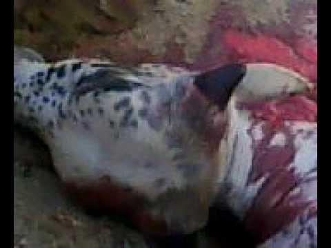 Karachi Cow Qurbani 2009 - YouTubeQurbani Cow 2009