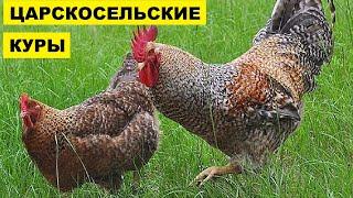 Разведение Царскосельской породы кур как бизнес идея   Царскосельские куры