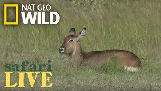 Safari Live - Day 104 | Nat Geo Wild