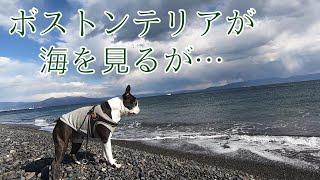 2019年1月26日ボストンテリアのグリを連れて静岡県の観光地 三保の松原...