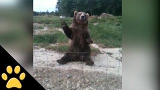 Bears Doing Human Things: Compilation