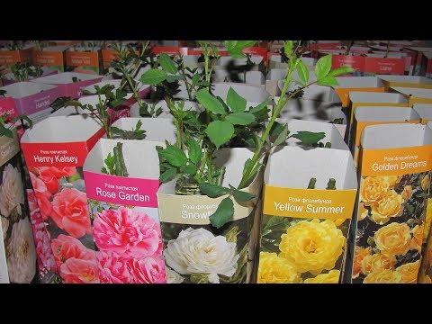 Роза из коробки - почему я зимой сажаю их в горшок