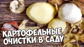 Лучшее удобрение для смородины - КАРТОФЕЛЬНЫЕ ОЧИСТКИ? 🌱 Как правильно приготовить удобрение