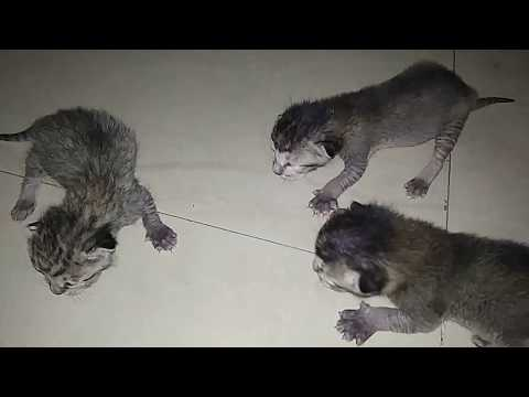 Little kittens meowing loudly for mom. // Funny Indian cat's