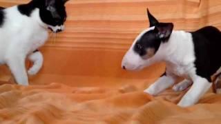 Bull Terrier Puppy Vs Cat