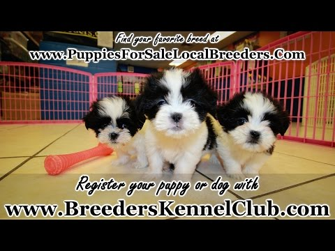 Malti Tzu Puppies For Sale in Georgia Local Breeders