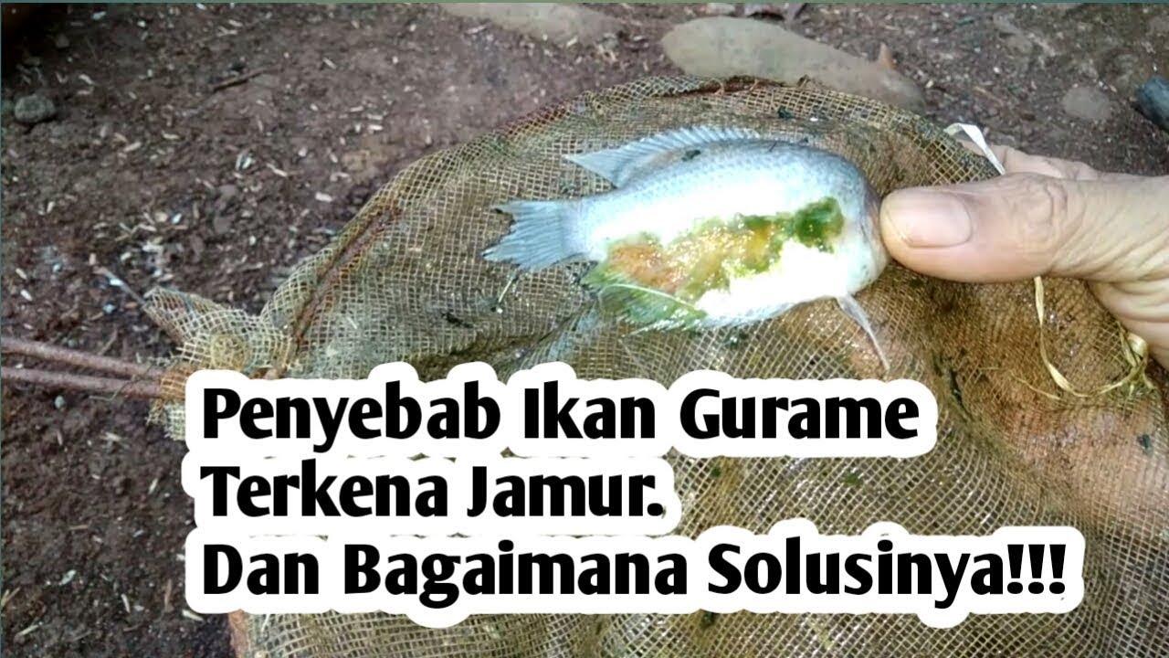 Penyebab Ikan Gurame Terkena Jamur Dan Bagaimana Solusinya Youtube