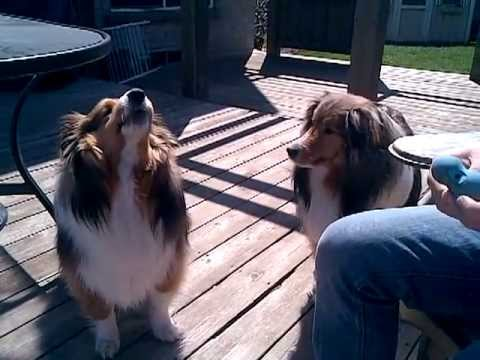 shelties howling: one normal and the other is chewbacca