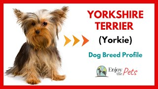 YORKSHIRE TERRIER (Yorkie) Dog Breed PROFILE Tips and CARE