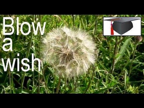 BLOW A FLOWER - make a wish!