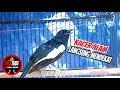 Sang Raja Pikat Kacer Paling Cocok Dan Ampuh Kacer Gacor Full Isian Pancing Kacer Lain  Mp3 - Mp4 Download