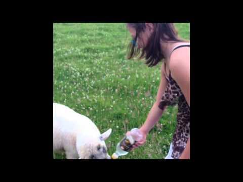 Treklet Bottle Feeding Orphan Lambs