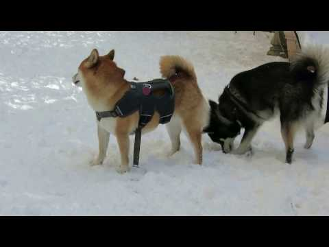 SNOW DAY: Alaskan Klee Kai Alfie flirts with Poppy the Shiba Inu