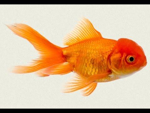 B d 39 s feeding baby koi shabumkin fancky gold fish youtube for What to feed baby koi