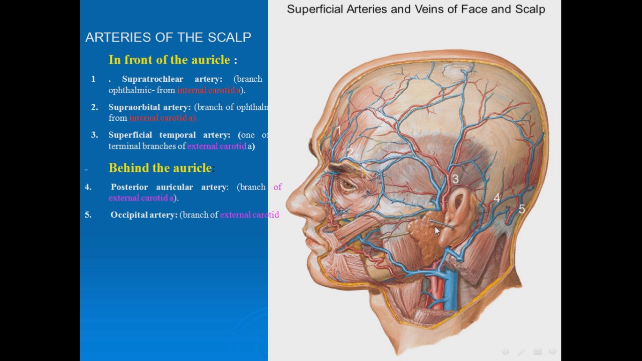 03 ARTERIES OF THE SCALP - YouTube