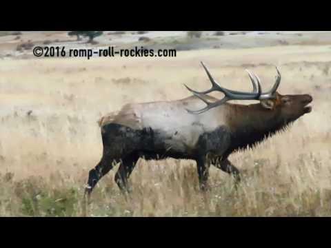 A Bull Elk Bugle!