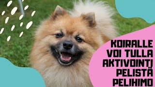 German Spitz Mittel playing with an activity toy.