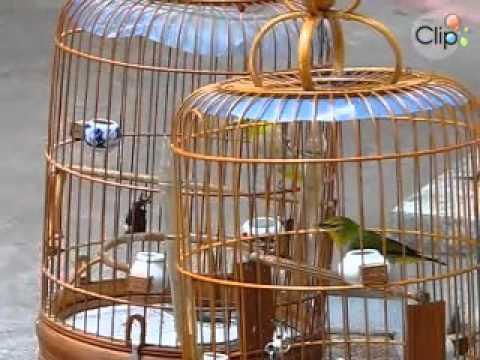 Xem video clip Chim khuyên hoàng kim giáp ! phần 2 - Video hấp dẫn - Clip hot - Soha.vn.mp4