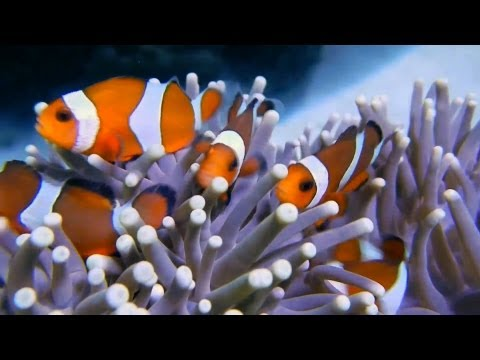 Clown Fish Happy Family (Anemone Fishes)