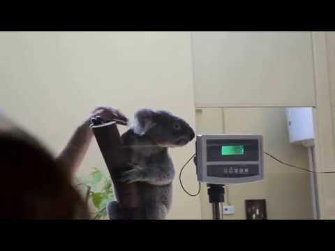 Thumbnail image for 'Koala Presentation at Budapest Zoo, Hungary'