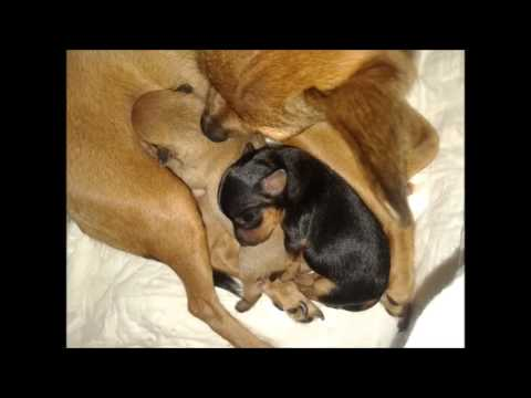 Русский той-терьер Матильда. Любовь, беременность, роды и щенки от 0 до 1 месяца.