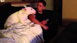 Bull Terrier W/ Personality
