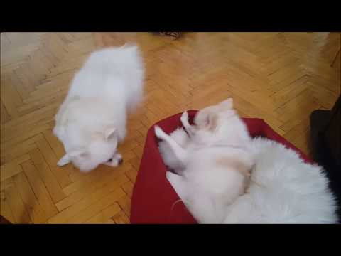 German Spitz: Spinning Dog!