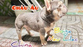 Bull pháp màu Lilac | Chó Châu Âu và Chó Trung Quốc | Trại Chó Bình Cao