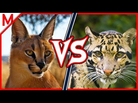 Caracal vs Clouded Leopard | ANIMAL BATTLE (+Dingo vs African Wild Dog winner)