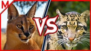 Caracal vs Clouded Leopard | ANIMAL BATTLE (+Dingo vs African Wild Dog winner) thumbnail