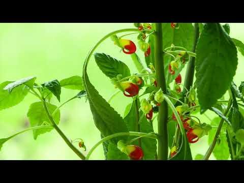 Das Kongo-Lieschen, Pflanzen-Rarität mit Papageischnabel-Blüten