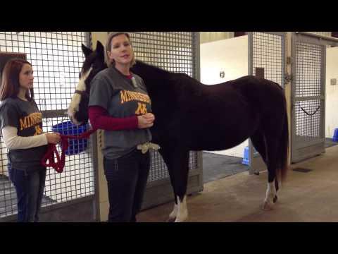 Estimating Adult Horse Bodyweight