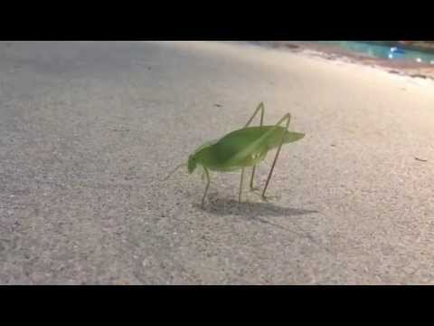 Leaf bug drops a deuce. [OC]
