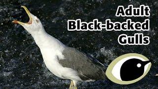 BTO Bird ID - Adult black-backed gulls