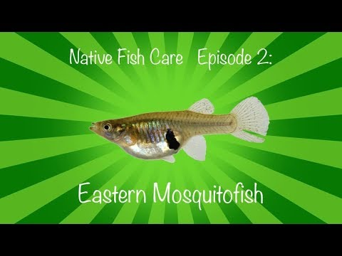 Native Fish Care Episode 2: Eastern Mosquitofish