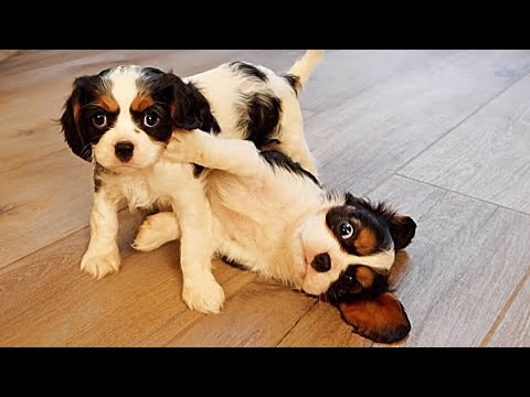 Cavalier Puppies Last Playdate Before They Go Home!!