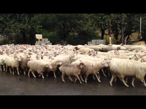 Стадо овец во главе с крутым КОЗЛОМ))
